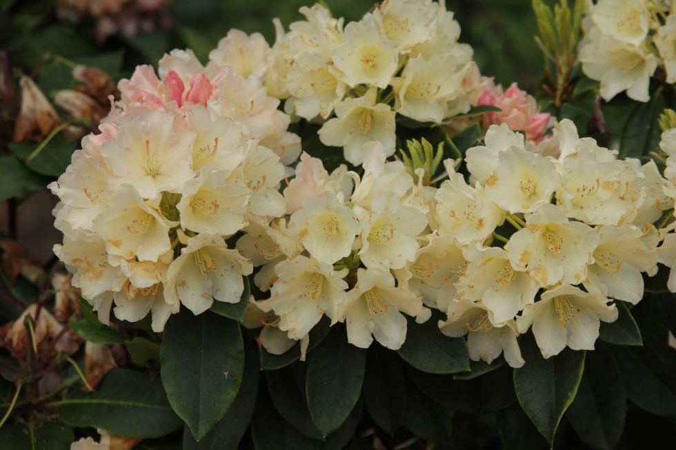 rhododendron golden torch1 Spring into April