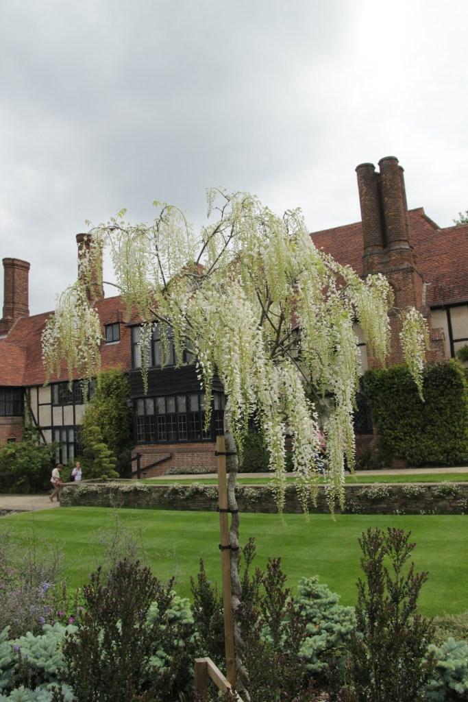 wisteria sinensis alba Plant of the week  Wisteria sinensis