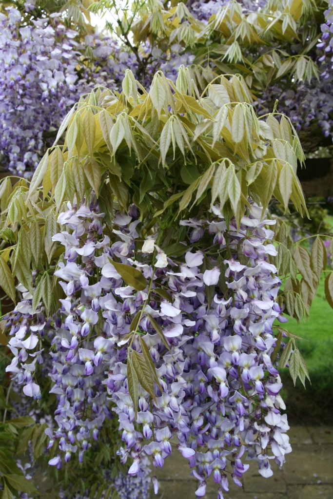 wisteria sinsis 2 Plant of the week  Wisteria sinensis