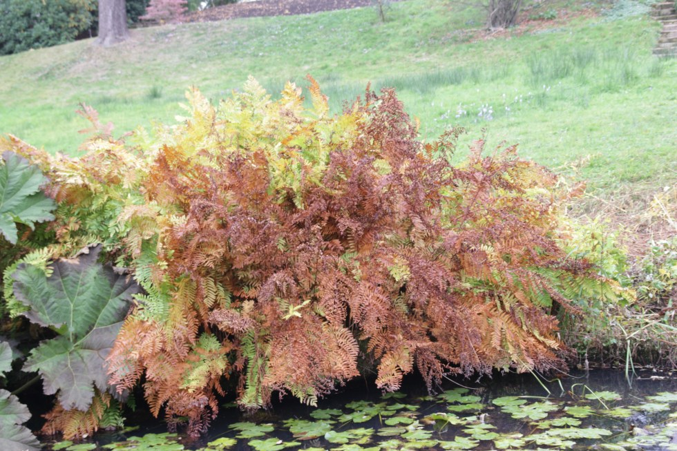 osmunda regalis 2 Plant of the week Osmunda regalia