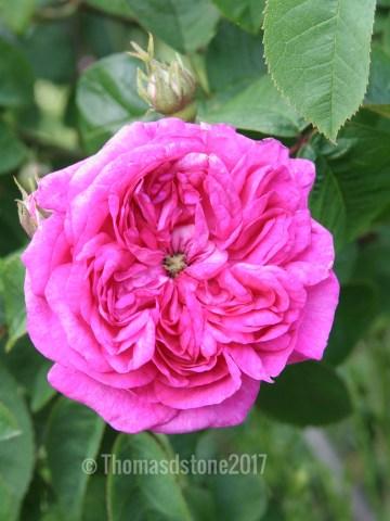 img 0351 Rose of the week  Duchesse de Buccleugh
