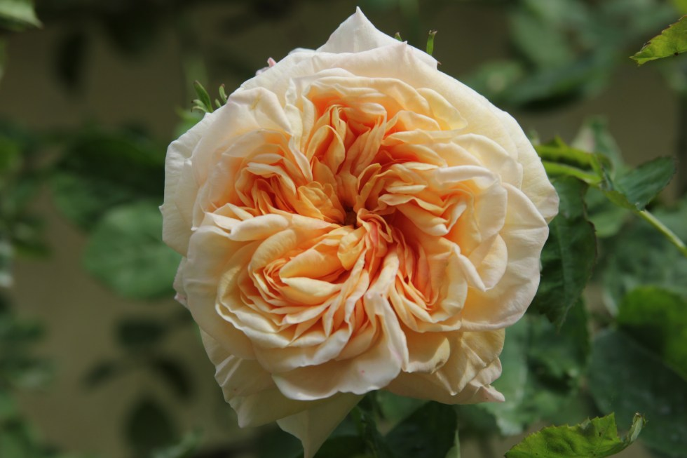 rosa gloire de dijon 3 Lets not forget our heritage roses