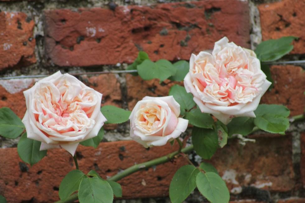 rosa gloire de dijon Rose of the Week   Gloire De Dijon