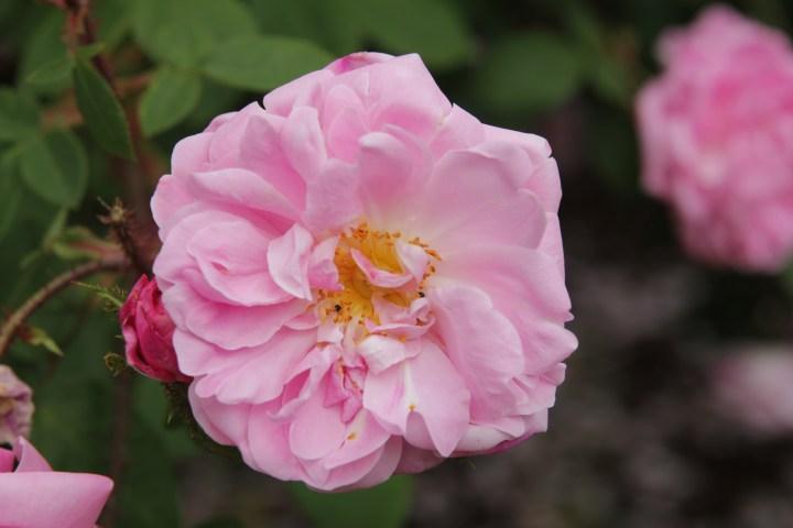 rosa jeanne de montfort Rose of the week  Jeanne de Montfort