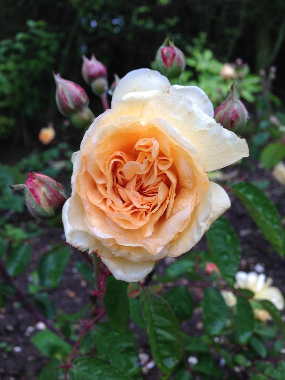 img 1296 Rose of the week  Buff beauty