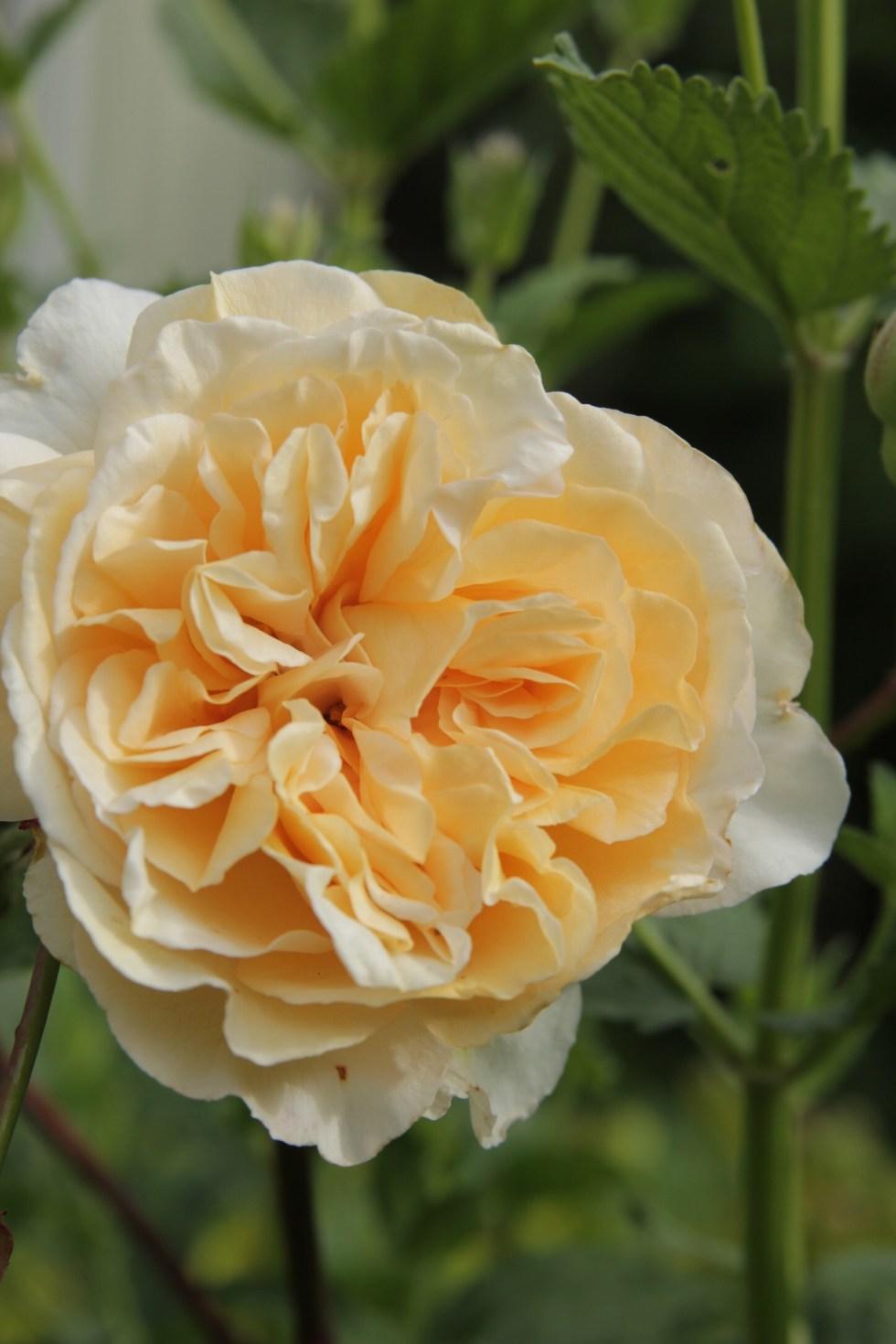 rosa buff beauty 2 Rose of the week  Buff beauty