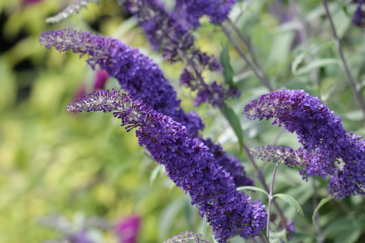 buddleja davidii blue horizon Longstock Nursery, the home of Buddleja!