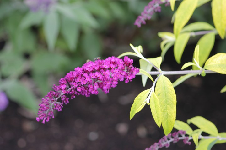 buddleja davidii leela kapila Longstock Nursery, the home of Buddleja!