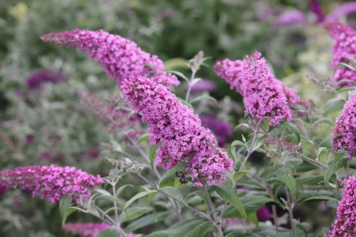 buddleja pink delight Longstock Nursery, the home of Buddleja!