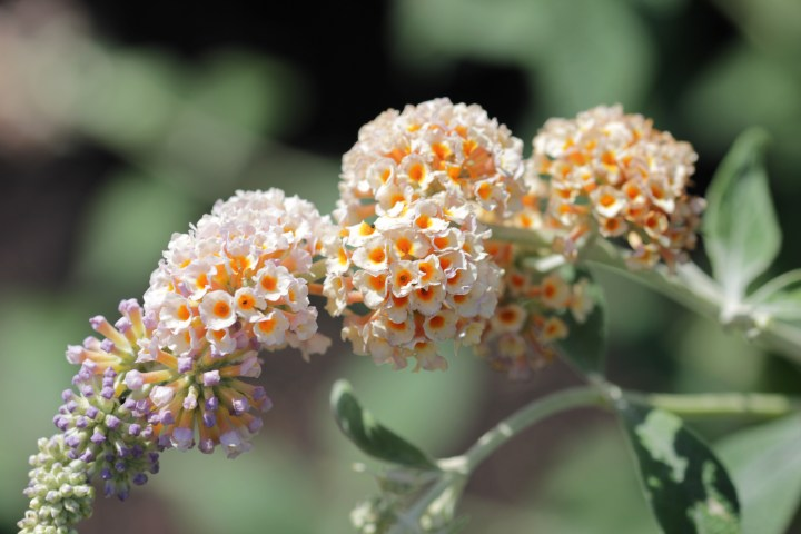 buddleja weyeriana moonlight Longstock Nursery, the home of Buddleja!