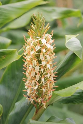 hedychium densiflorum stephen Plant of the week  Hedychium densiflora Stephen