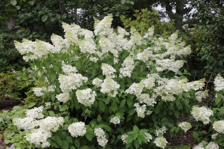 hydrangea paniculata florbunda 2 Plant of the week  Hydrangea paniculata Floribunda