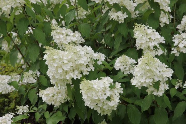 hydrangea paniculata florbunda 3 Plant of the week  Hydrangea paniculata Floribunda