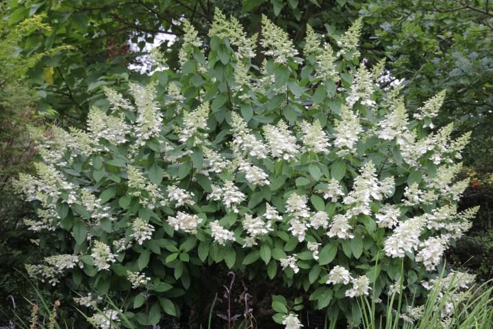 hydrangea paniculata florbunda Plant of the week  Hydrangea paniculata Floribunda