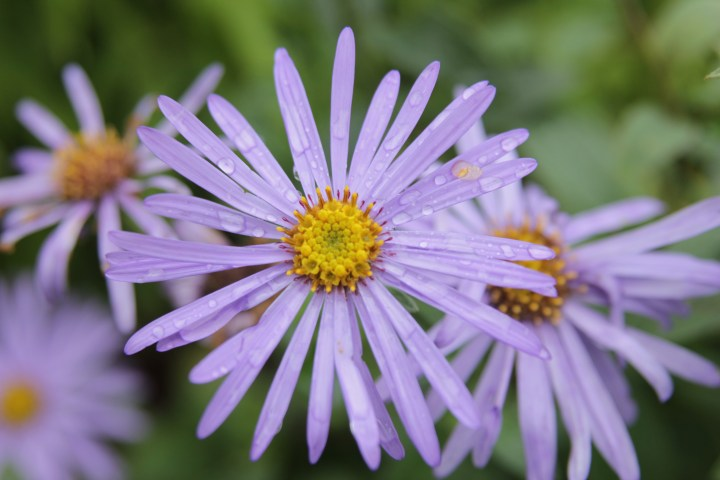 aster monach Plant of the week  Aster x frikartii Monch