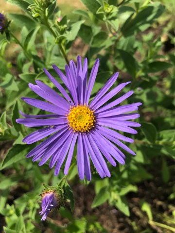 img 0098 Plant of the week  Aster x frikartii Monch