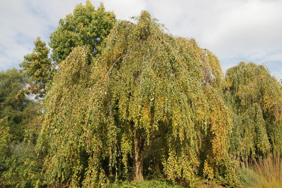 ceridiphyllum japonica morioka weeping Plant of the week Cercidiphyllum japonicum f.Pendulum