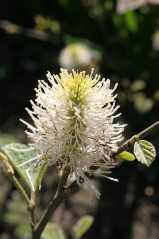 fothergill majir Plant of the week  Fothergilla major Monticola Group