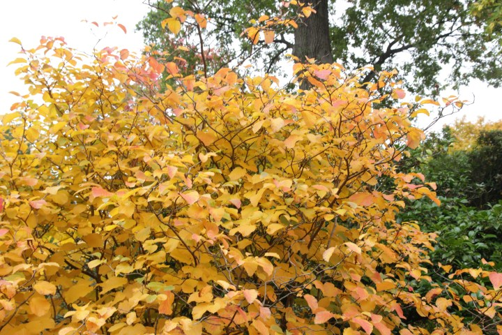 fothergillia major monticola group Plant of the week  Fothergilla major Monticola Group