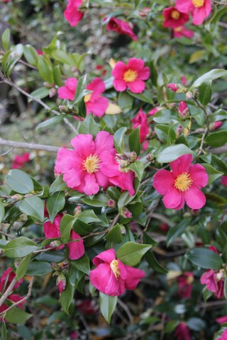 camellia sasanqua crimson king 3 Plant of the week Camellia sasanqua 'Crimson King'
