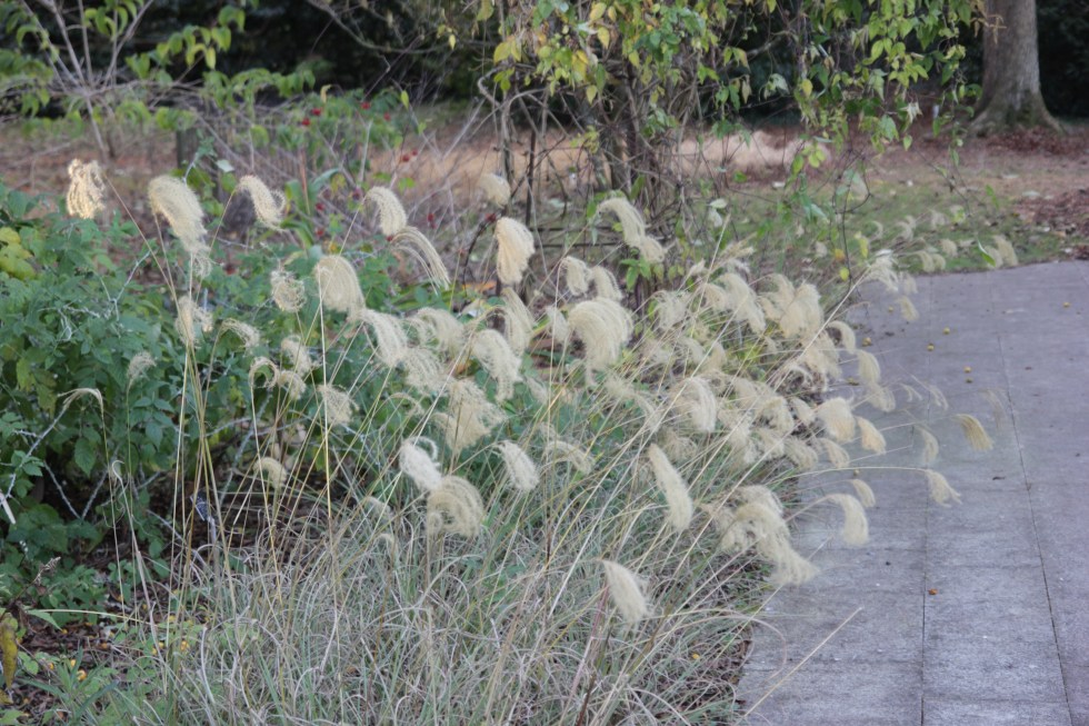 miscanthus nepalensis 1 Plant of the week Miscanthus nepalensis