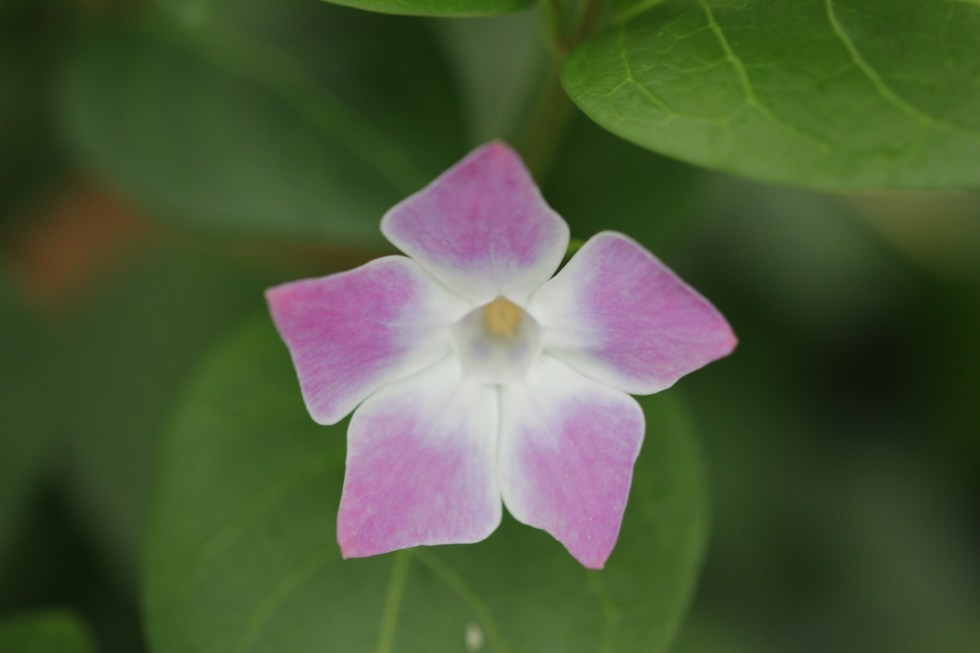 vinca difformis jenny pym 2 Plant of the week  Vinca difformis 'Jenny Pym'
