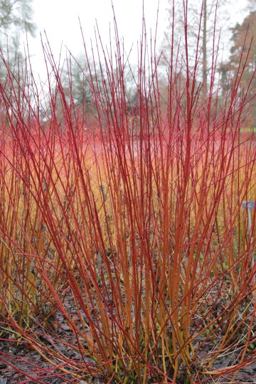 cornus alba sibrica ruby Pruning back dogwoods/Cornus  for stem colour