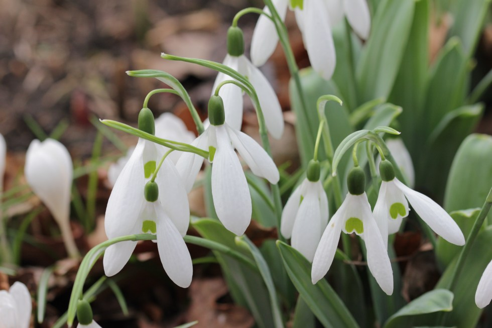 galanthus elwesii comet 3 The great Snowdrop addiction