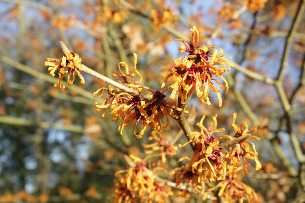 hamamelis x intermedia orange peel 2 Plant of the week  Hamamelis x intermedia 'Orange Peel'