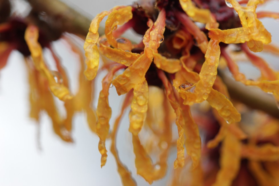 hamamelis x intermedia orange peel 6 Plant of the week  Hamamelis x intermedia 'Orange Peel'