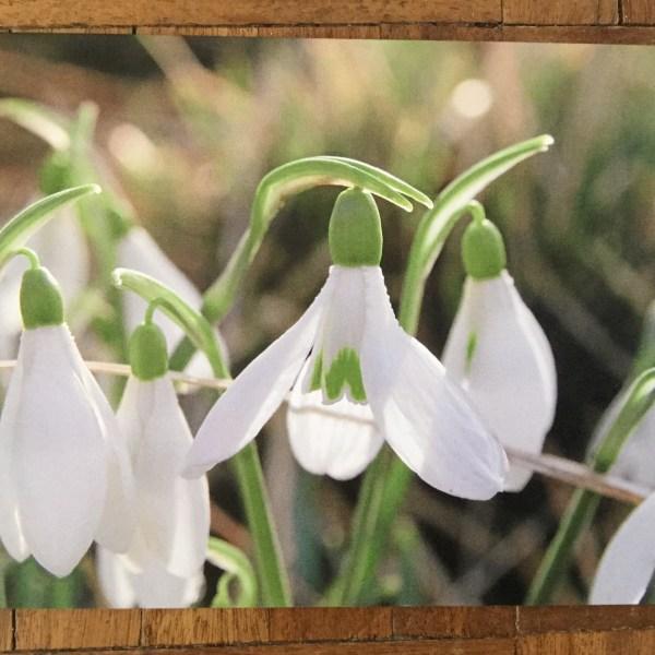 image 1 Greeting card featuring Galanthus atkinsonii