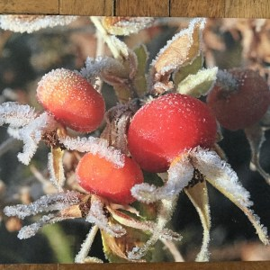image 5 Greeting card Rosa rugosa in the frost