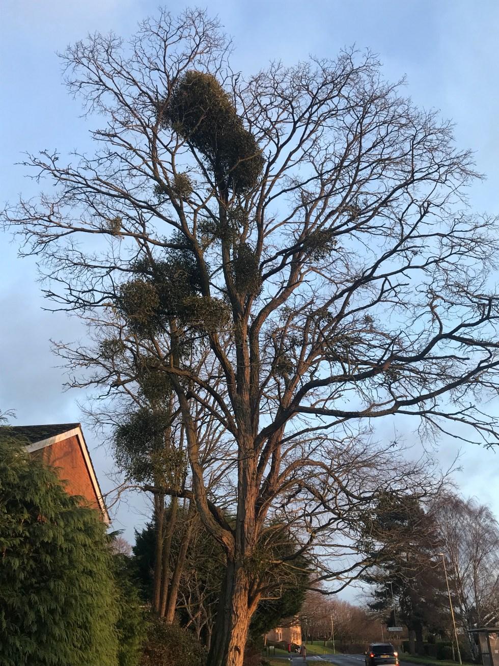 img 1576 Mistletoe and how to grow it