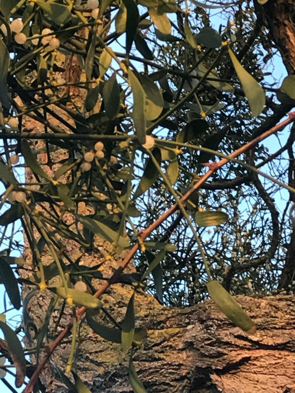 img 1577 Mistletoe and how to grow it