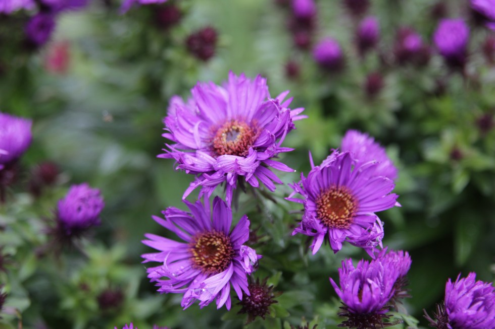 aster little carlow 2 Changing world of plant names, confusion or clarity