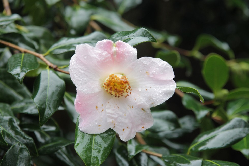 camellia x williamsii j c williams 2 Plant of the week  Camellia x williamsii 'J C Williams'