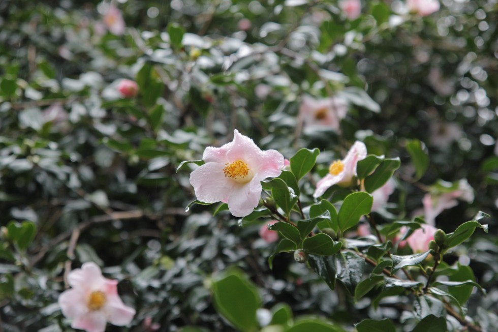 camellia x williamsii j c williams 3 Plant of the week  Camellia x williamsii 'J C Williams'