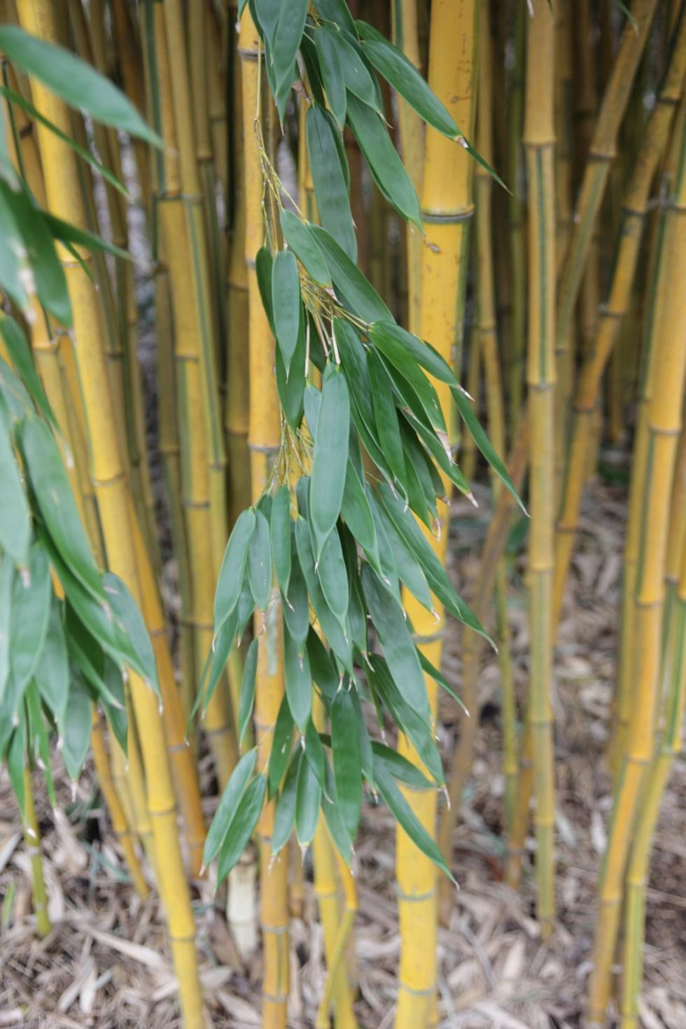 phyllostachys aureosulcata specabilis 4 Plant of the week Phyllostachys aureosulcata f. spectabilis