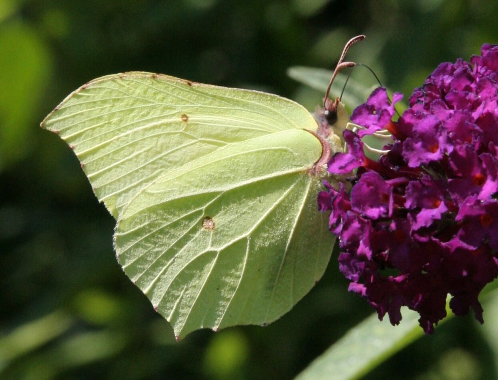 brimstone Watching Nature