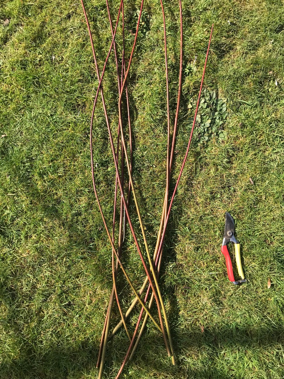 img 2366 Propagating dogwoods/Cornus from waste pruning