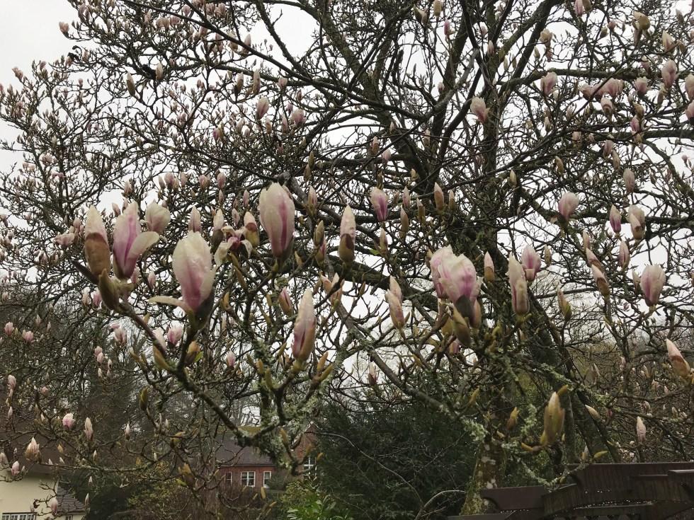 c94bdeb1 e564 46f3 91f0 3a3097525d50 686 0000003ce598e954 file Plant of the week  Magnolia x soulangeana 'Etienne Soulange Bodin