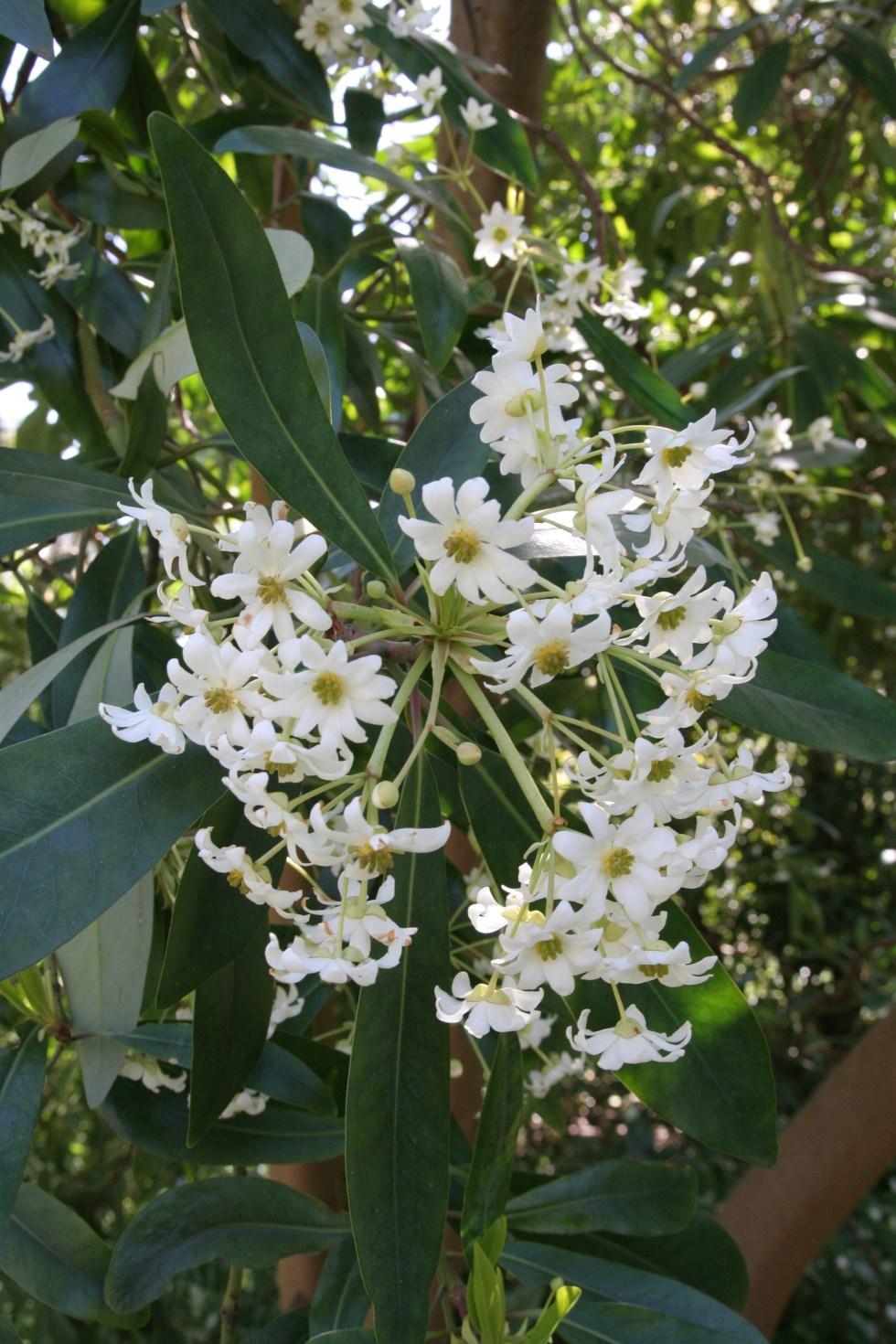 drimys winteri2 Plant of the week  Drimys winteri