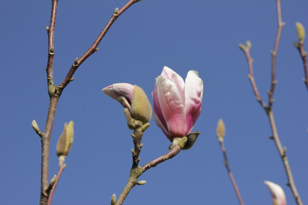 magnolia x soulangeana2 Plant of the week  Magnolia x soulangeana 'Etienne Soulange Bodin