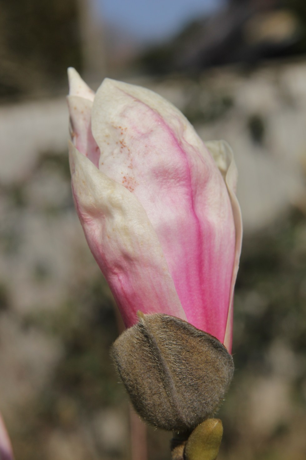 magnolia x soulangeana6 Plant of the week  Magnolia x soulangeana 'Etienne Soulange Bodin