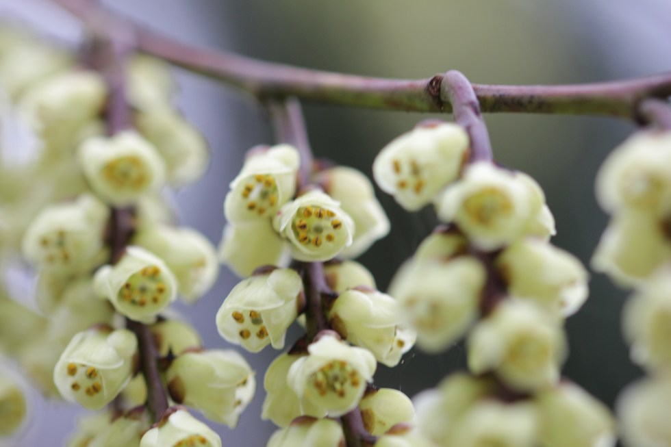 stachyurus praecox 6 Plant of the week  Stachyurus praecox