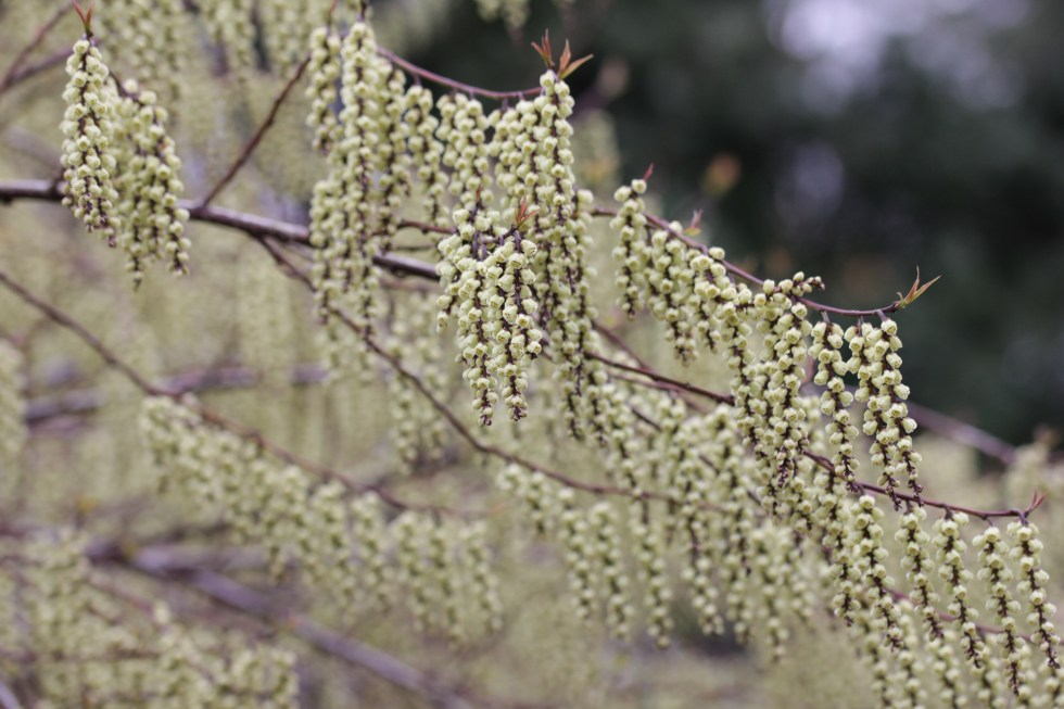stachyurus praecox Plant of the week  Stachyurus praecox