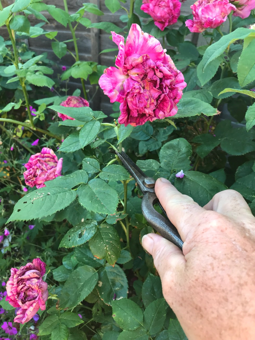 84ef0e74 c936 4fd8 87bd 55b51efc65c2 9665 000006ff607b6f9f file Dead heading and summer pruning on roses