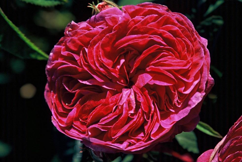 charles de mills 05f Gallica roses, forgotten gems