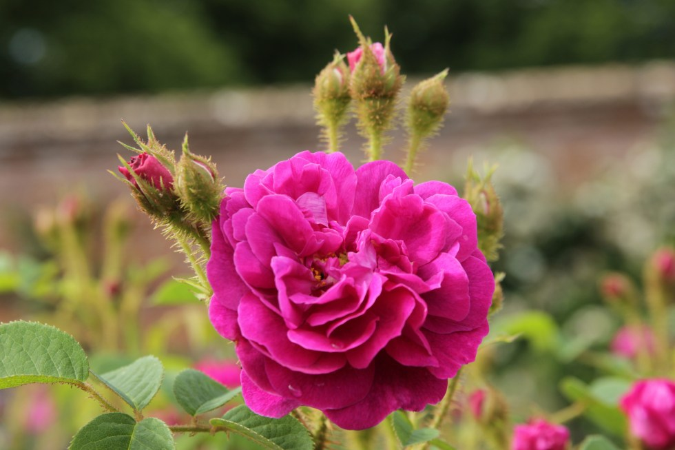 rosa henri martin5 The glory of the moss roses