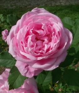 Rosa Baroness Rothschild